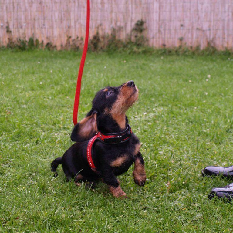 hondenschool-pup