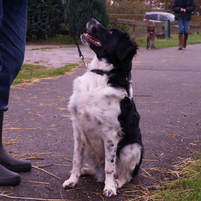 hondenschool-volwassen-hond