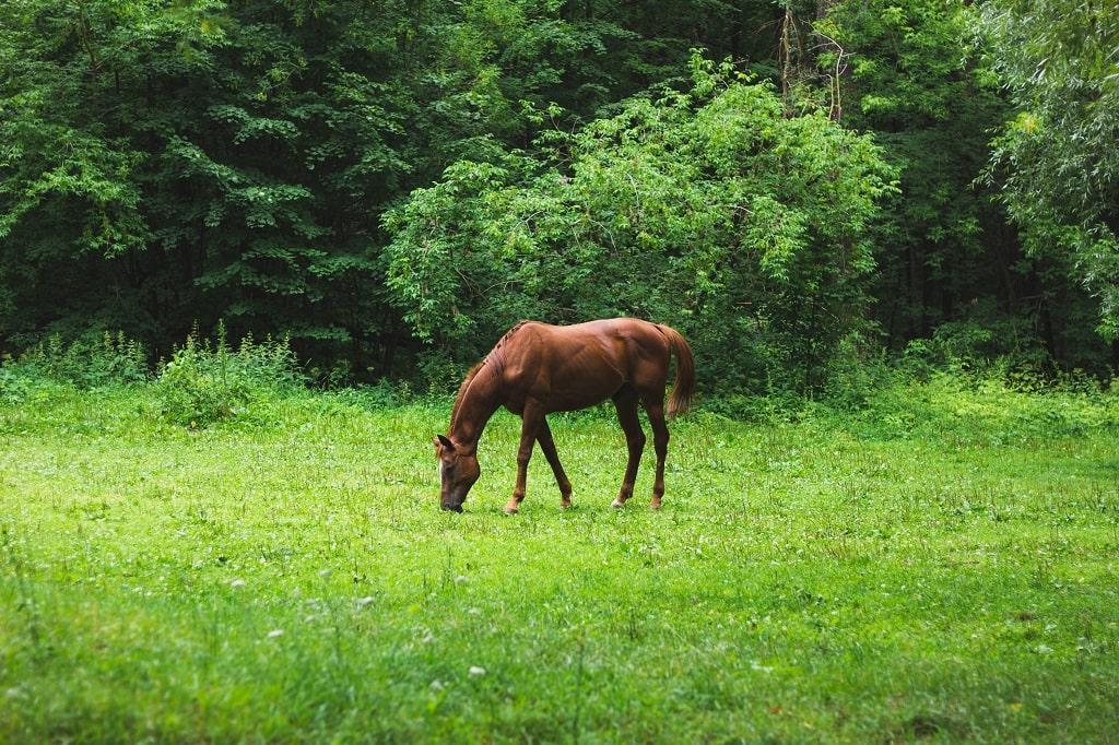 bruin-paard