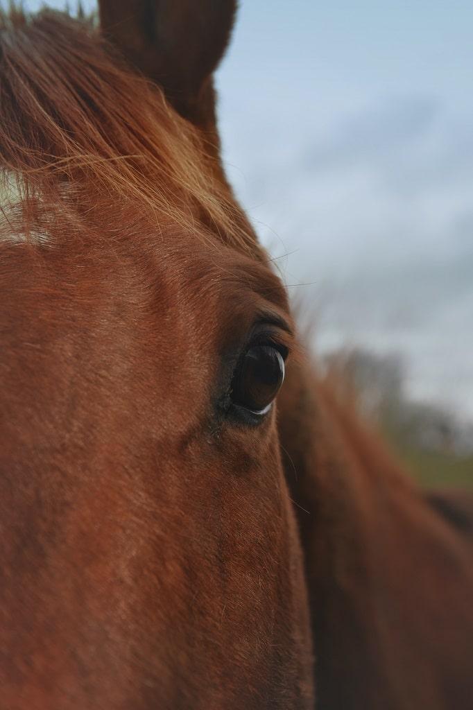bruin-paard-oog